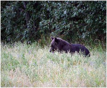 Медведи на охотничьей базе Сосновом бору